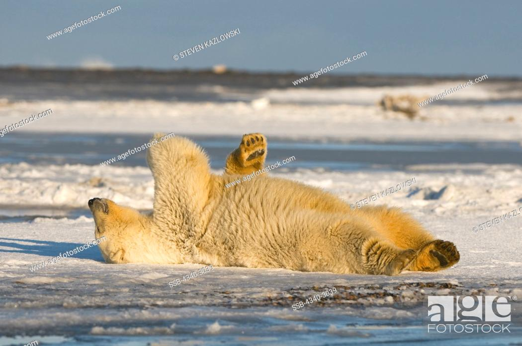 Stock Photo: USA, Alaska, Brooks Range, Arctic National Wildlife Refuge, Polar bear (Ursus maritimus) cub rolling around off Bernard Spit.