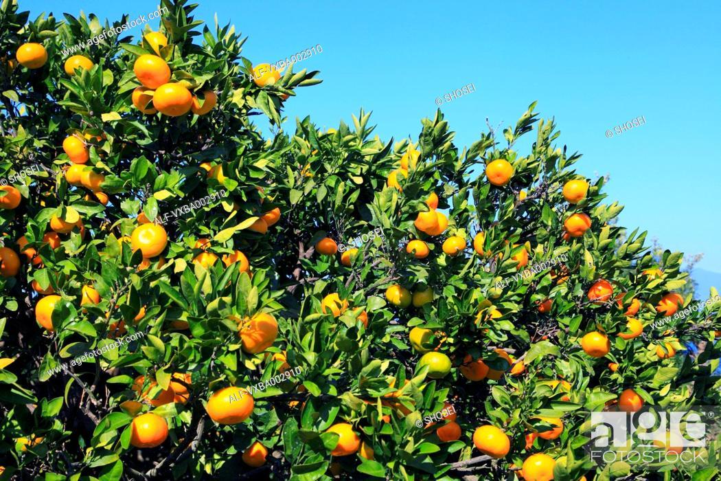 Stock Photo: Tangerines.