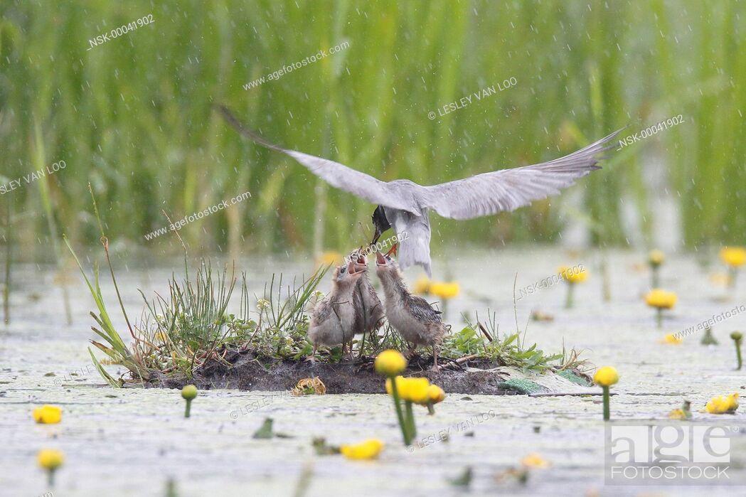 Imagen: Black Tern (Chlidonias niger) feeding chicks a dragonfly, The Netherlands, Utrecht.