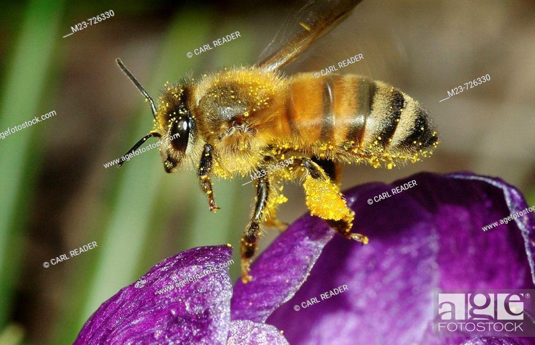 Imagen: Covered in pollen, a honey bee takes flight over a purple crocus, Pennsylvania, USA.