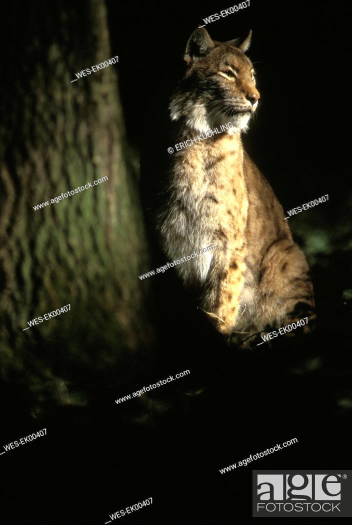 Stock Photo: felis lynx.
