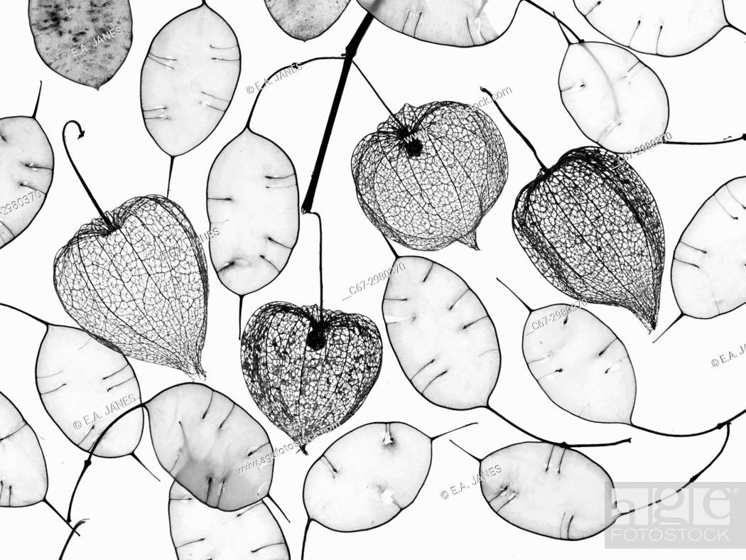 Stock Photo: Chinese Lanterns Physalis alkekengi skeletons and Honesty seed pods.
