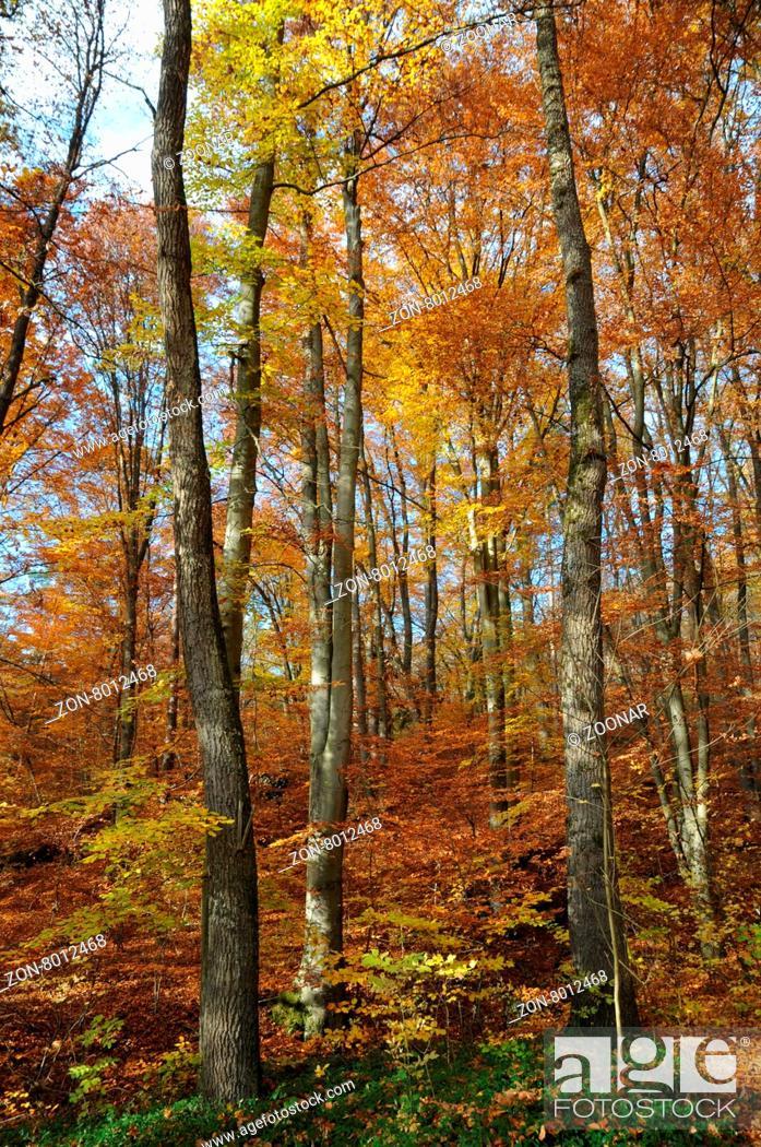 Fagus Sylvatica Quercus Robur Stieleiche Rotbuche Beech German