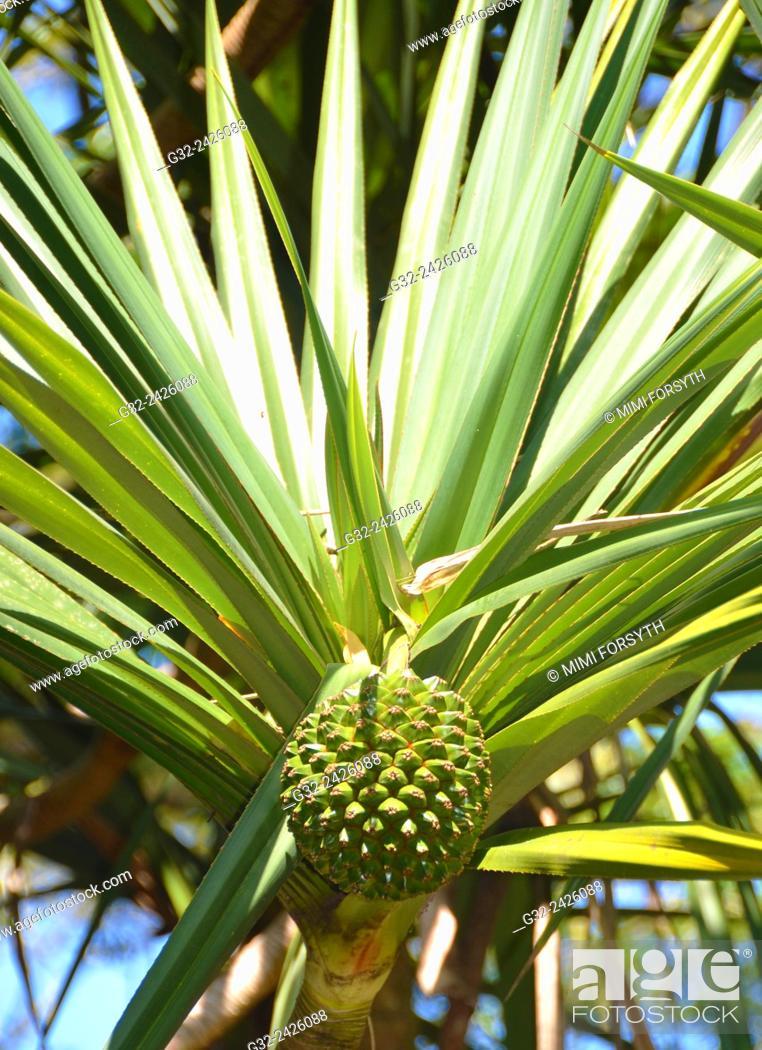 Stock Photo: Pandanus (Vacoa, Pandanus utilis) fruit, Hawai'i, USA.