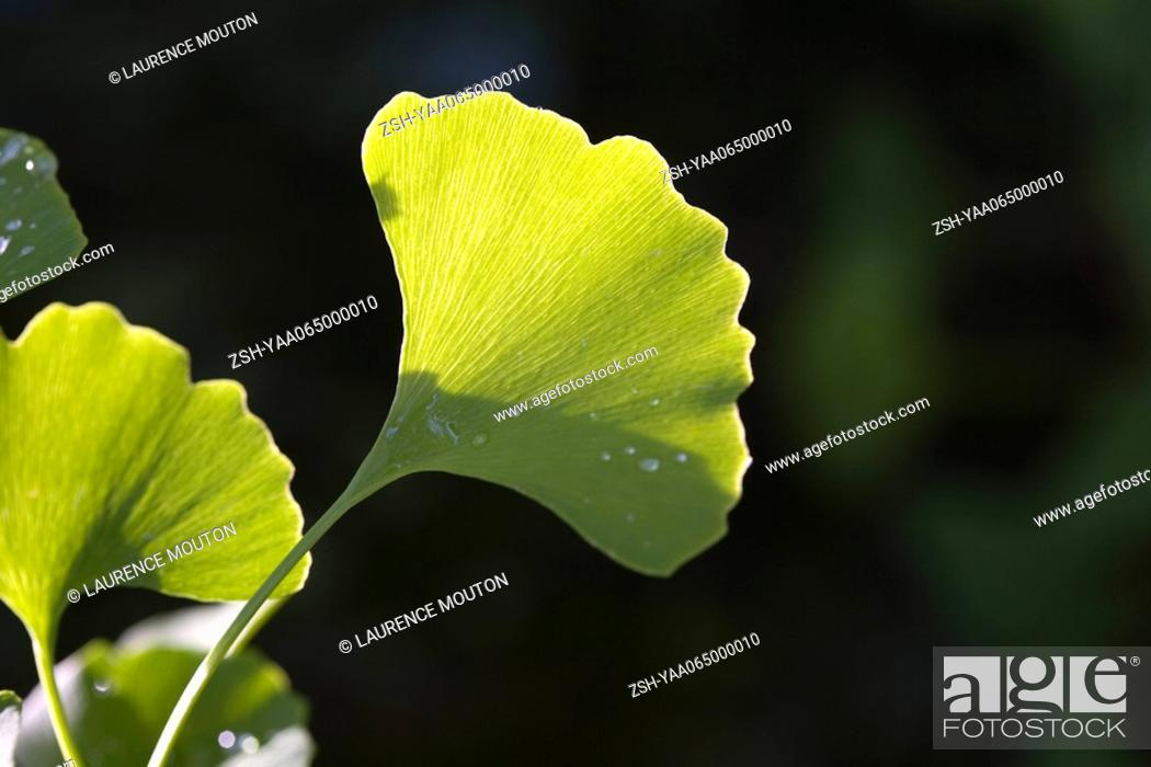 Stock Photo: Ginkgo leaf with dew drops, close-up.