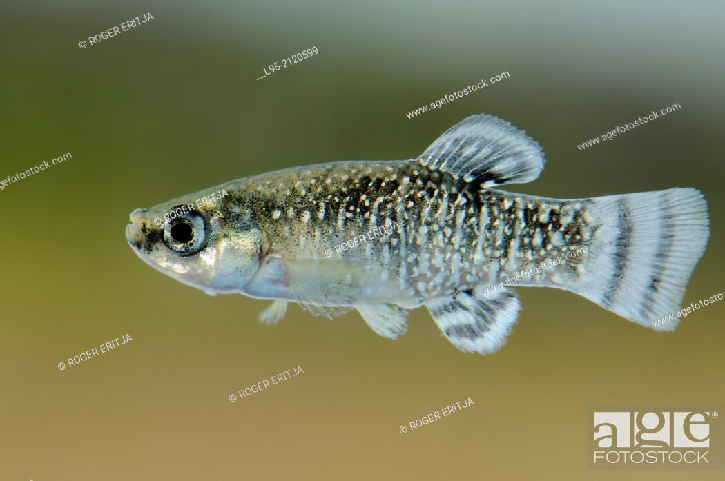 Stock Photo: Male of Aphanius iberus, a mosquito larvivorous fish species presently endangered in the Mediterranean since the introduction of the American mosquitofish.