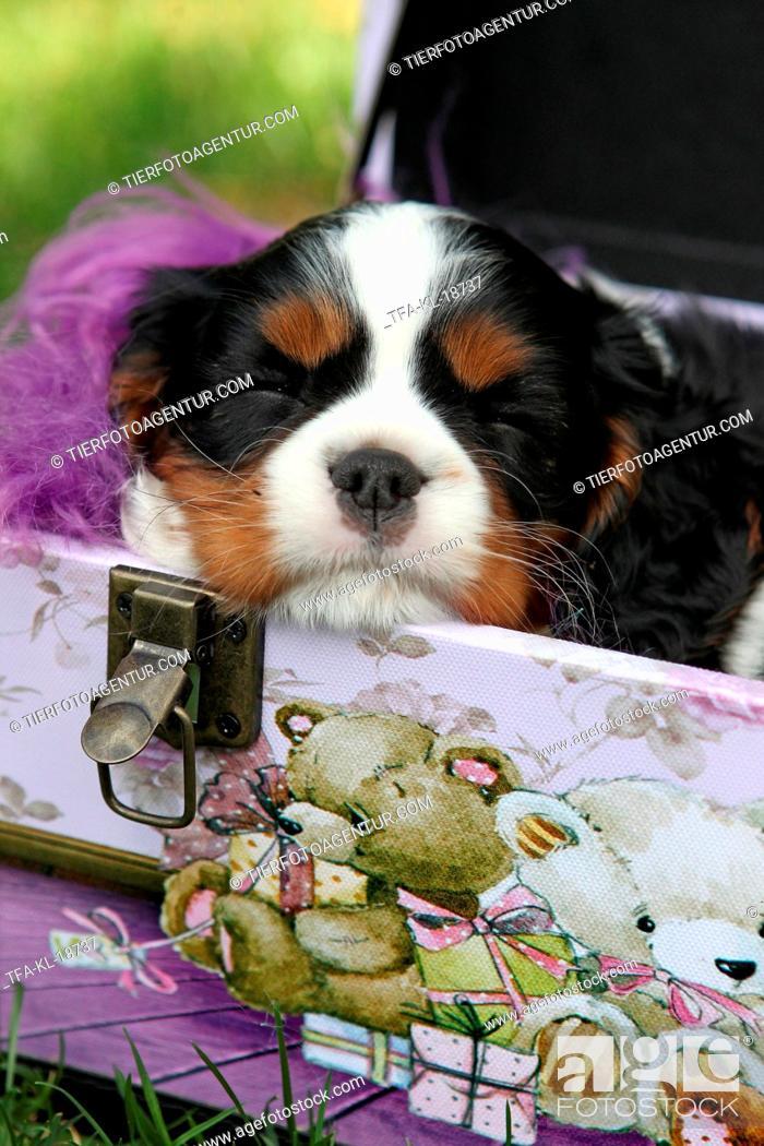 Stock Photo: sleeping Cavalier King Charles Spaniel puppy.