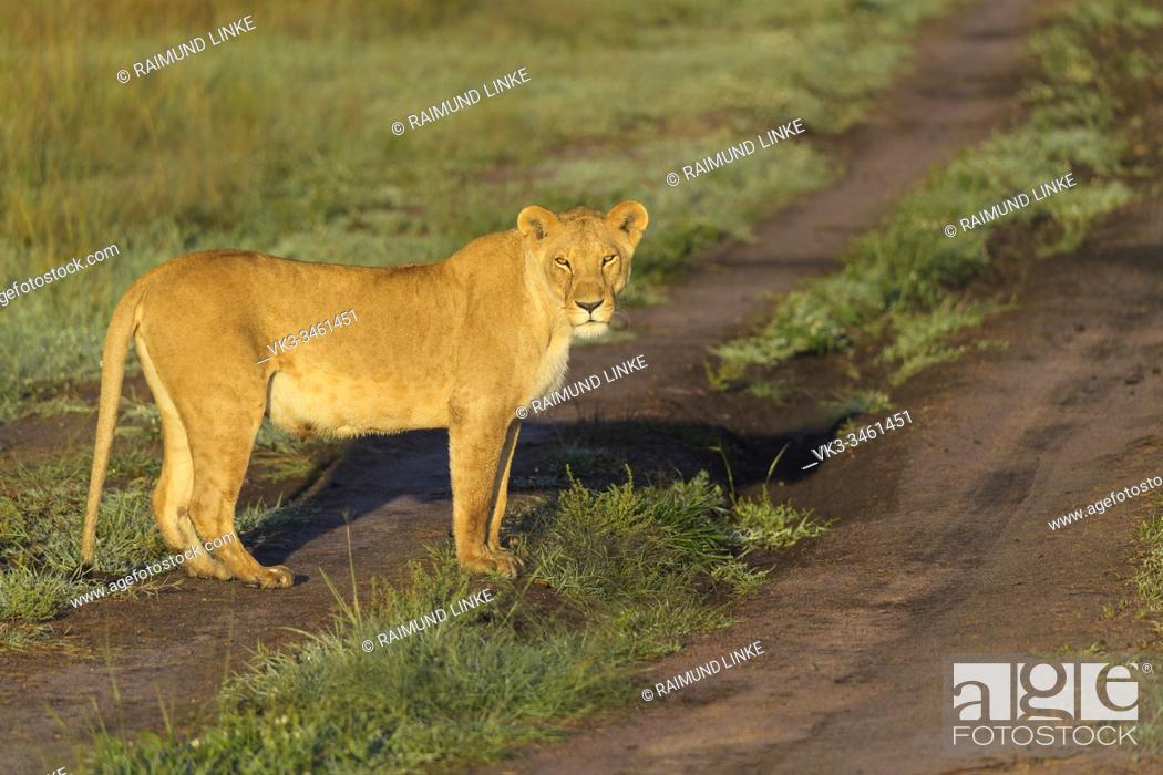 Imagen: African lion, Panthera Leo, female, Masai Mara National Reserve, Kenya, Africa.