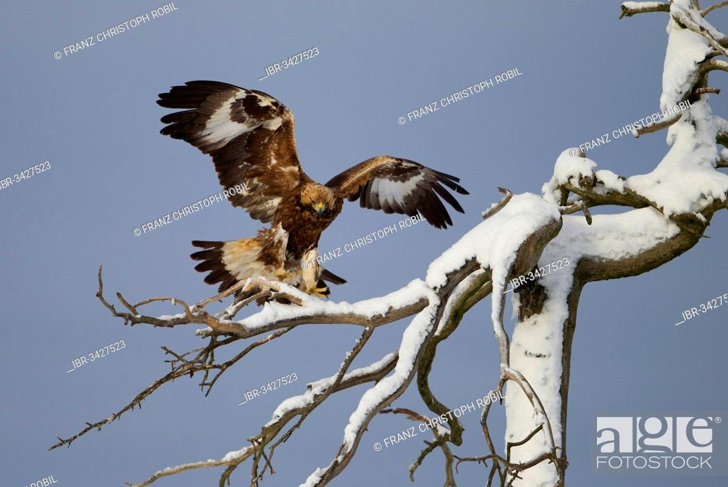 Imagen: Golden Eagle (Aquila chrysaetos) approaching to land on a snow-covered tree.