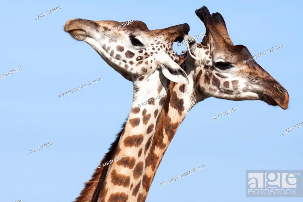 Stock Photo: Maasai Giraffe (Giraffa camelopardalis tippelskirchi) group head portrait, Maasai Mara National Reserve, Kenya.