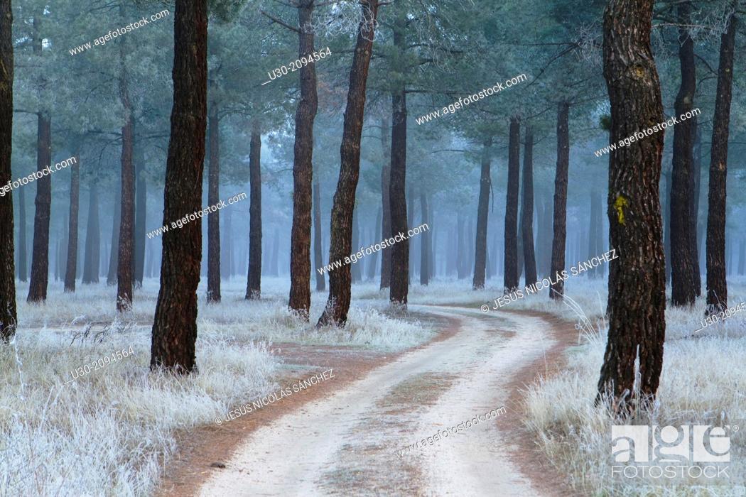Imagen: Frost in a pinewood in winter. Nieva village, in Segovia province. Spain.
