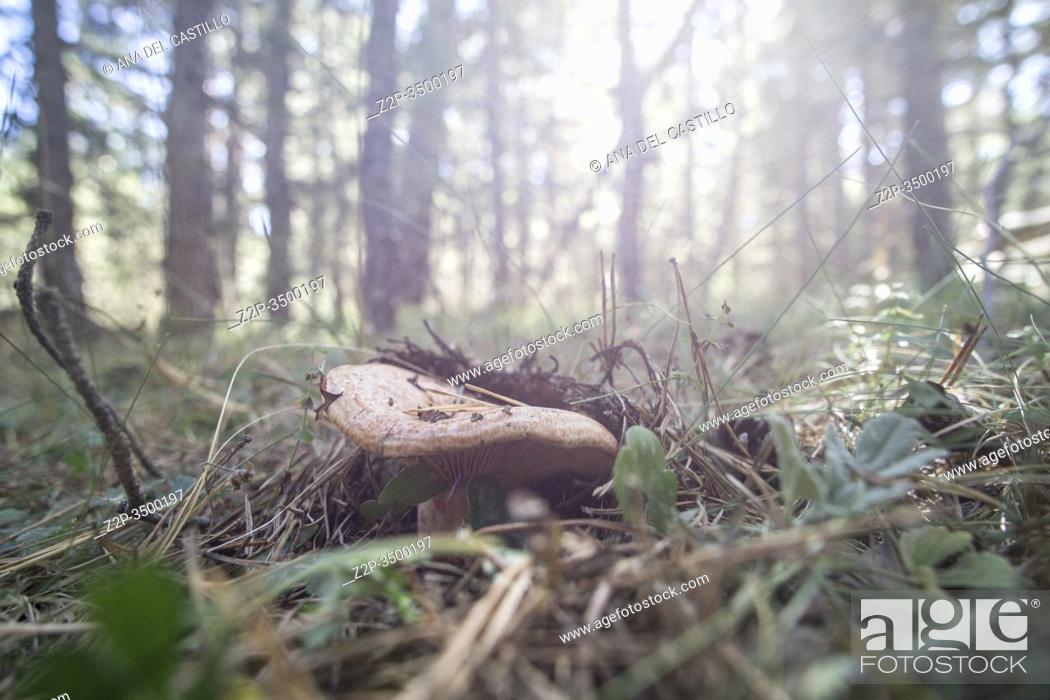 Stock Photo: Saffron milk caps (Lactarius deliciosus) Wild mushrooms in Teruel mountains Aragon Spain.