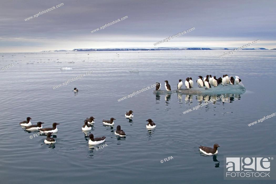 Stock Photo: Brunnichs Guillemot Uria lomvia adults, summer plumage, flock swimming at sea and standing on ice floe in coastal habitat, Spitzbergen, Svalbard, july.