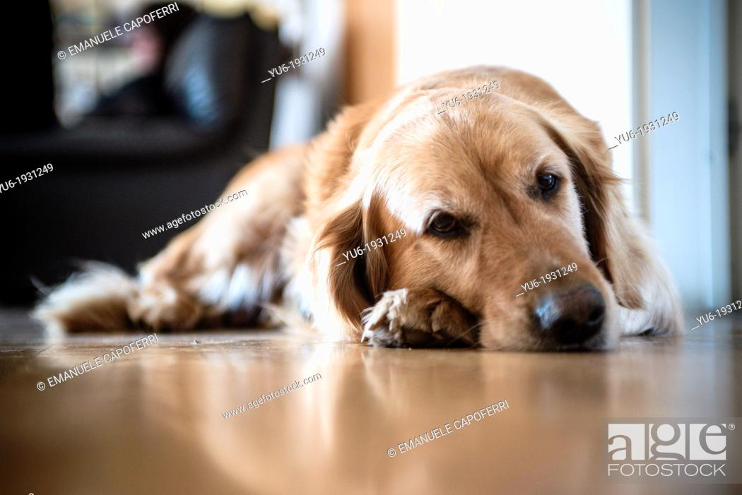 Stock Photo: Golden retriever dog in the house.