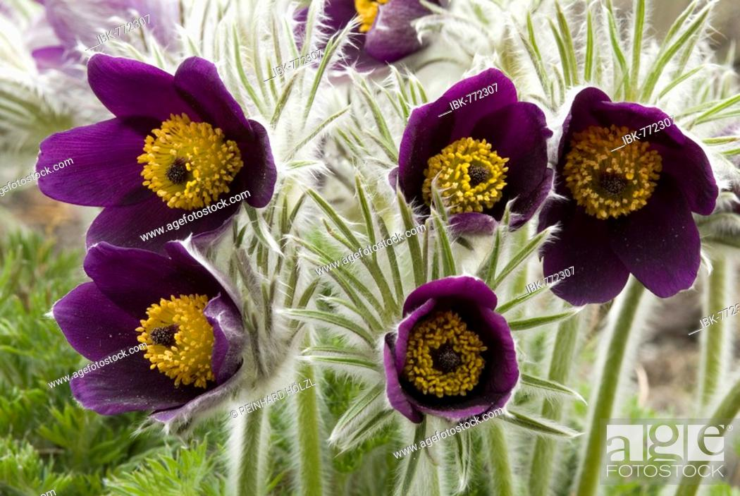 Stock Photo: Small Pasque Flower (Pulsatilla pratensis), native to Europe and Asia, Botanical Gardens in Innsbruck, Austria, Europe.