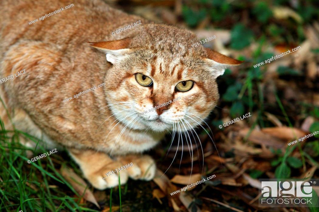 Stock Photo: AFRICAN WILDCAT felis silvestris lybica, ADULT.