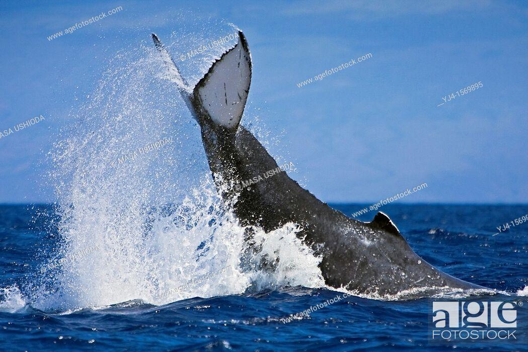 Stock Photo: humpback whale, Megaptera novaeangliae, displaying aggressive caudal peduncle throw behavior, Hawaii, USA, Pacific Ocean.