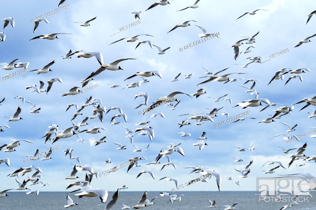 Photo de stock: Flock of Black-headed gull (Chroicocephalus ridibundus), North Sea coast, Schleswig-Holstein, Germany.