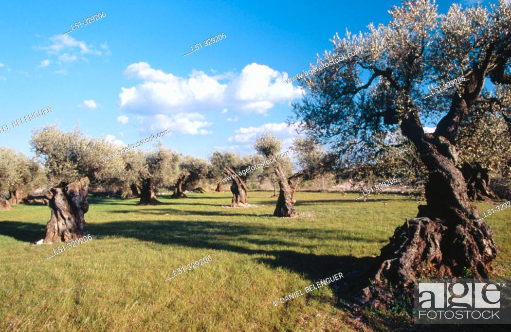 Stock Photo: Olive trees (Olea europaea). El Maestrazgo. Castellon Province. Comunidad Valenciana. Spain.