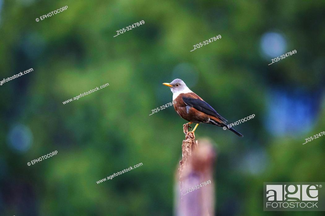 Imagen: Chestnut Thrush, Turdus rubrocanus, Sattal, Nainital, Uttarakhand, India.