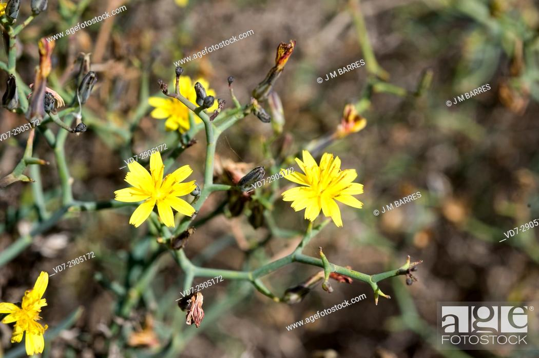 Stock Photo: Aulaga, cardaviejo or rascaviejas (Launaea arborescens) is a dense and prickly shrub native of Canary Islands, Northwest of Africa and Southeast of Spain.