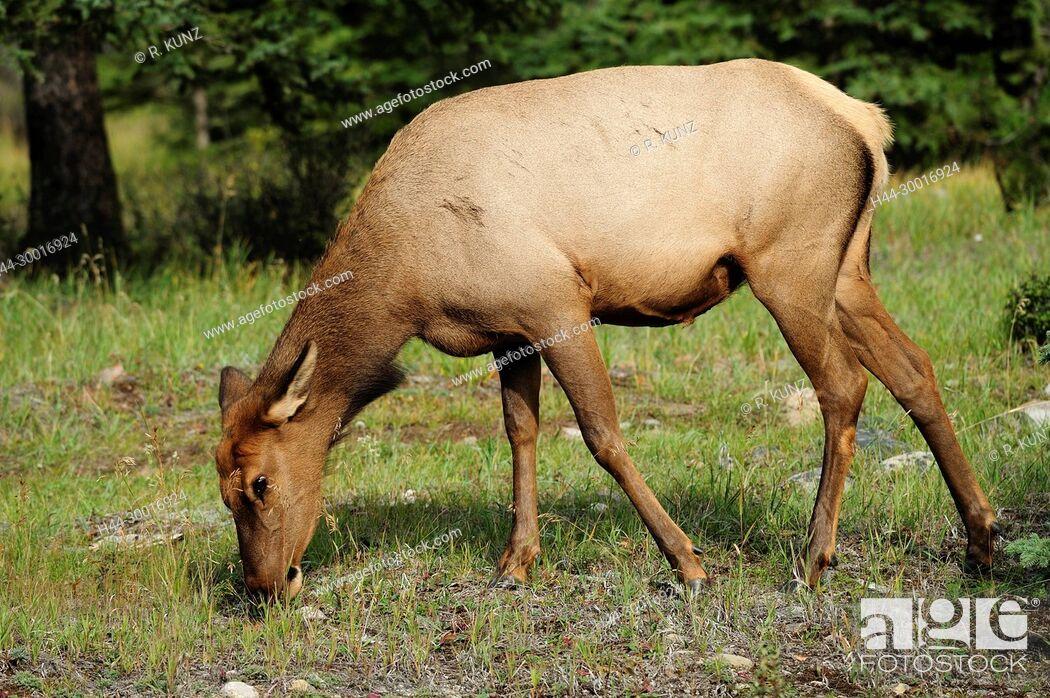 Imagen: Elk, Cervus elaphus, Cervidae, doe, browsing, mammal, animal, Jasper National Park, Alberta, Canada.