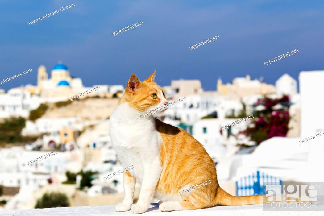 Stock Photo: Europe, Greece, Cyclades, Santorini, Cat in the streets of Oia.