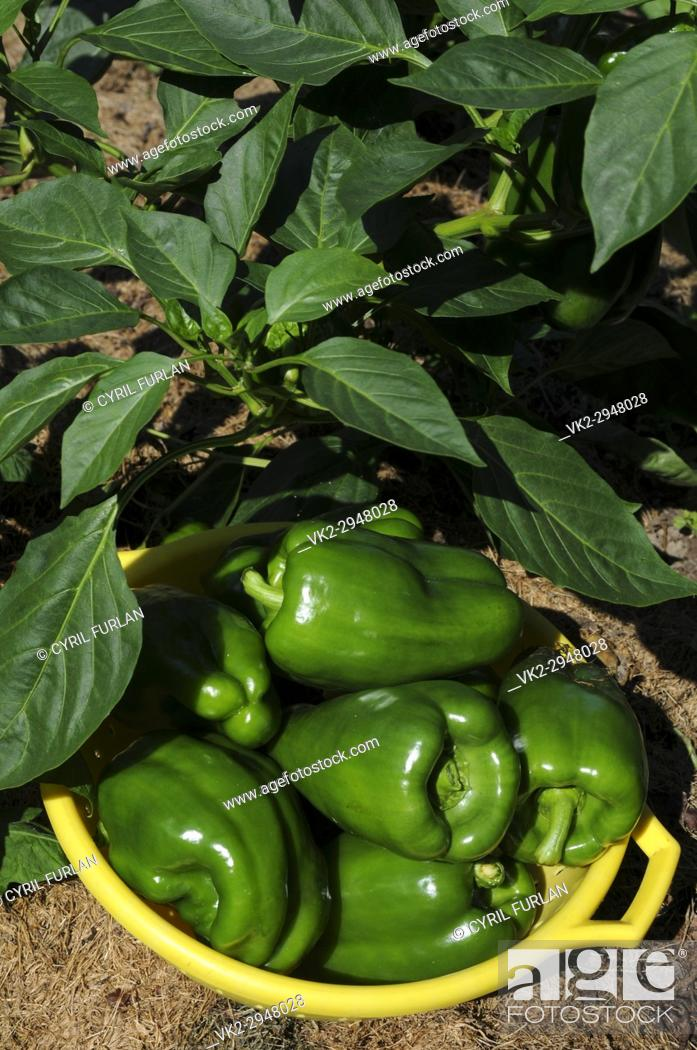 Stock Photo: Organically grown green peppers.