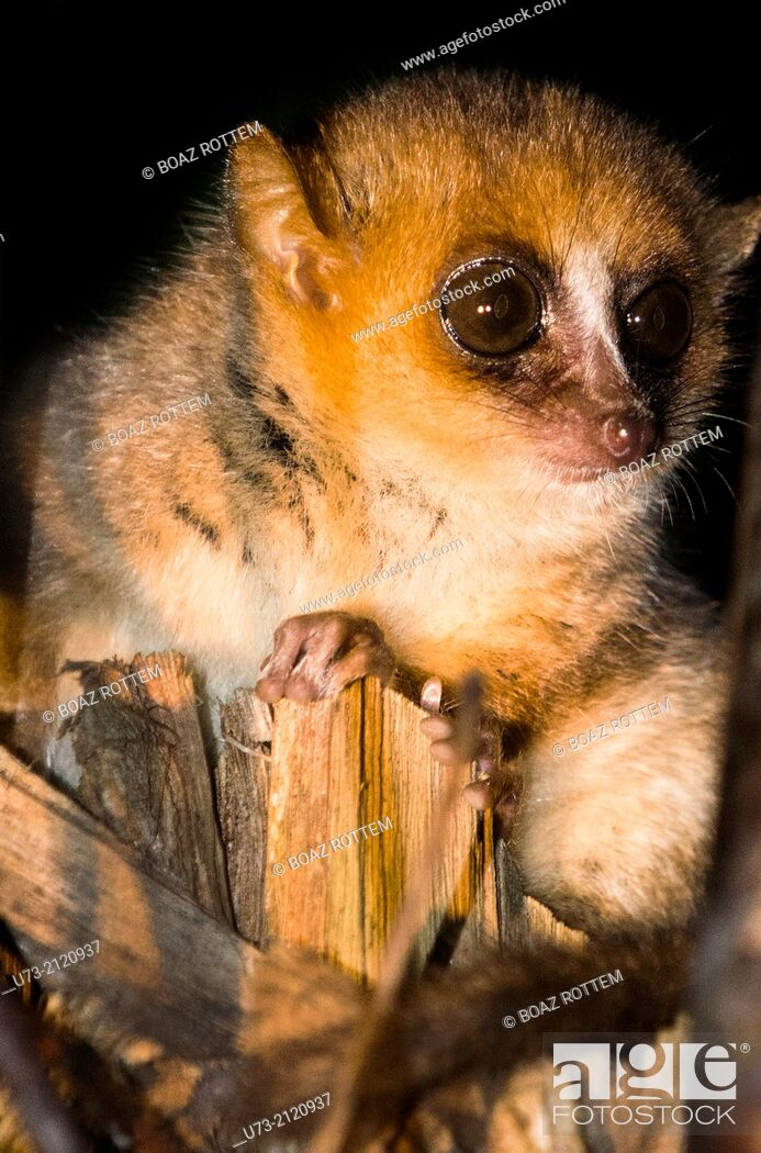 Stock Photo: A nocturnal Mouse Lemur in Adasibe forest in Eastern Madagascar.