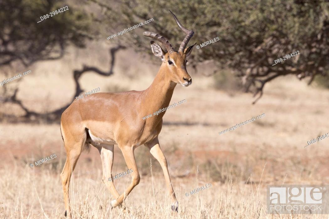 Imagen: Africa, Southern Africa, South African Republic, Kalahari Desert, Impala (Aepyceros melampus), adult male with a broken horn.