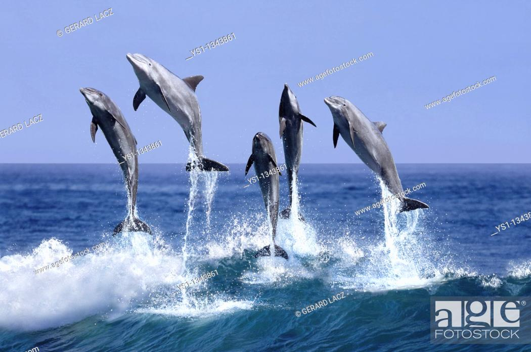 Stock Photo: BOTTLENOSE DOLPHIN tursiops truncatus, GROUP LEAPING OUT OF THE WATER, HONDURAS.