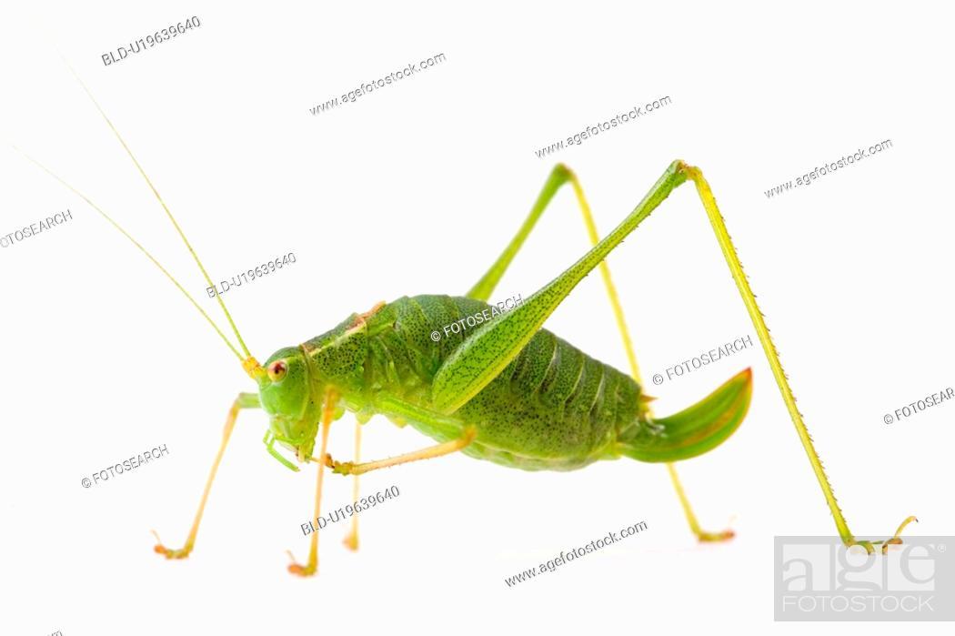 Stock Photo: close-up, grasshopper, ganzansicht, colored, alfred.