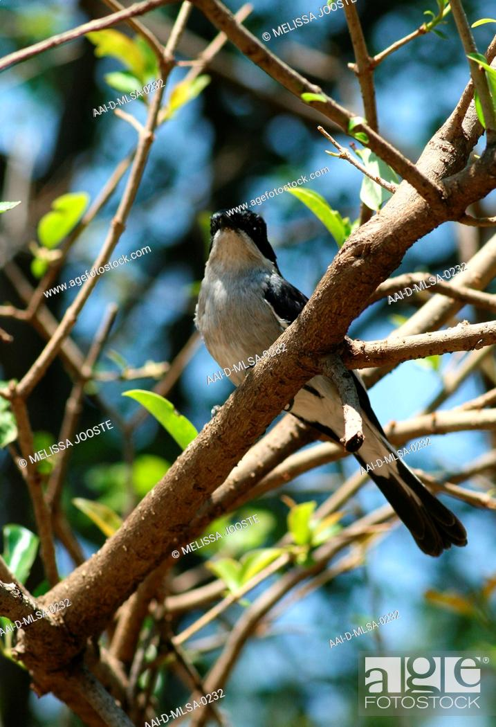 Stock Photo: Lion Park, male Fiscal Flycatcher sitting on a branch, Sigelus silens.