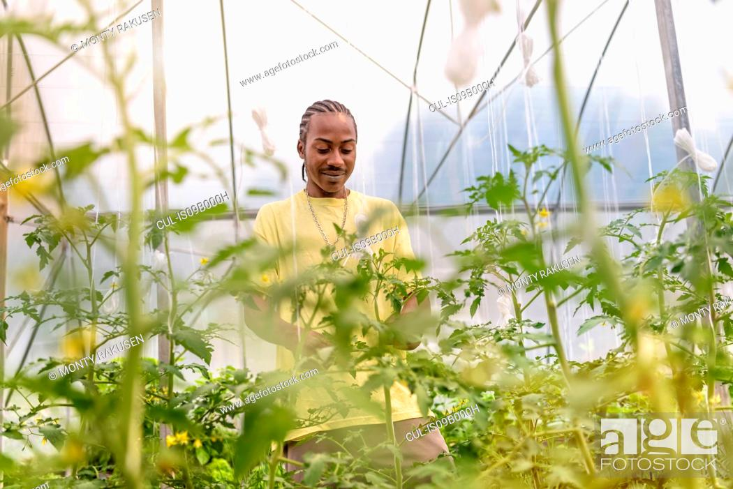 Stock Photo: Worker removing tomato plants side shoots in Hydroponic farm in Nevis, West Indies.