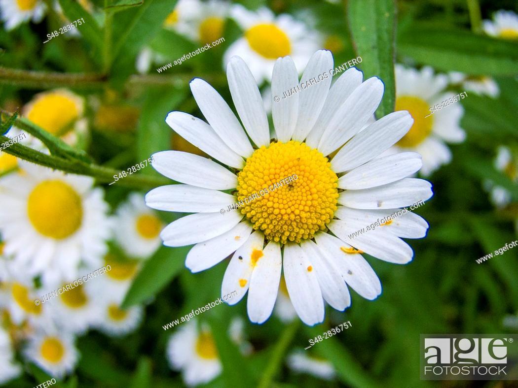 Stock Photo: Margaritas (Bellis perennis) en Cantabria. España. Europa.
