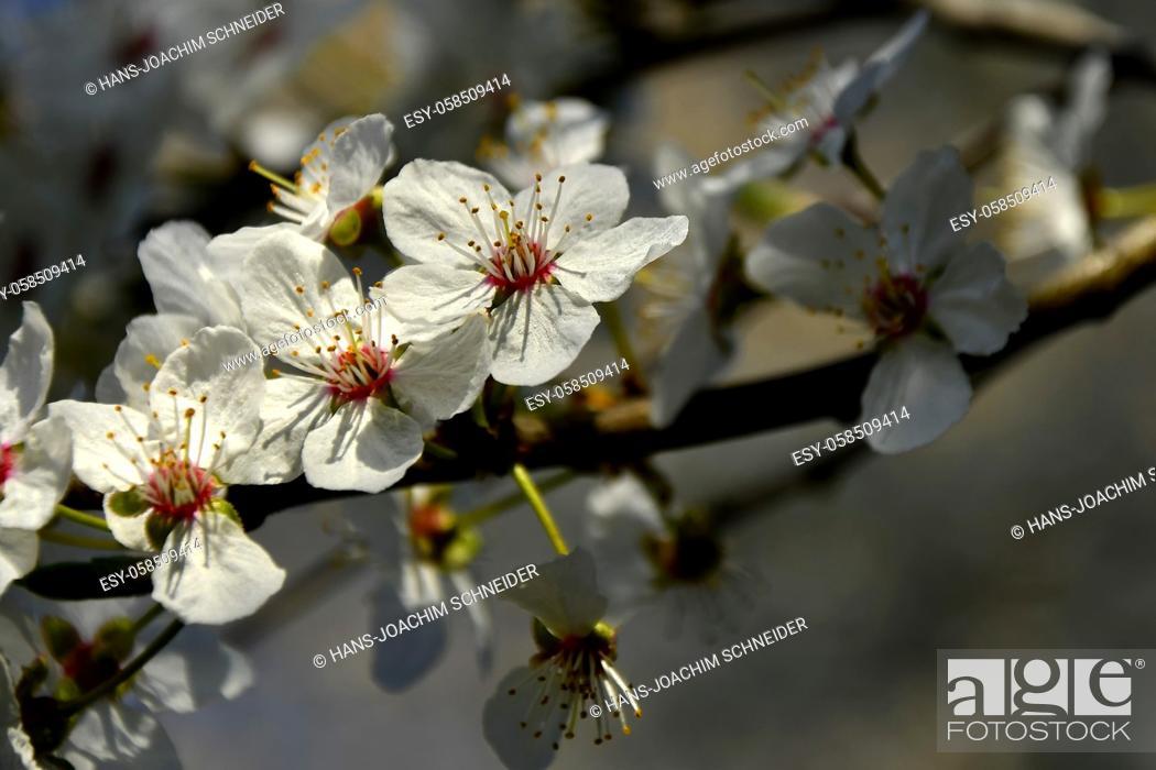 Stock Photo: wild mirabelle blossom in springtime.
