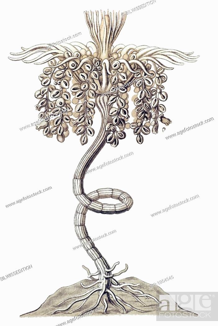 Stock Photo: Historic illustration, tablet 6, title Siphonophorae, Hydrozoa, name Epibulia, 10/ Tubuletta splendida, Hydroplyp, Ernst Haeckel, Kunstformen der Natur.