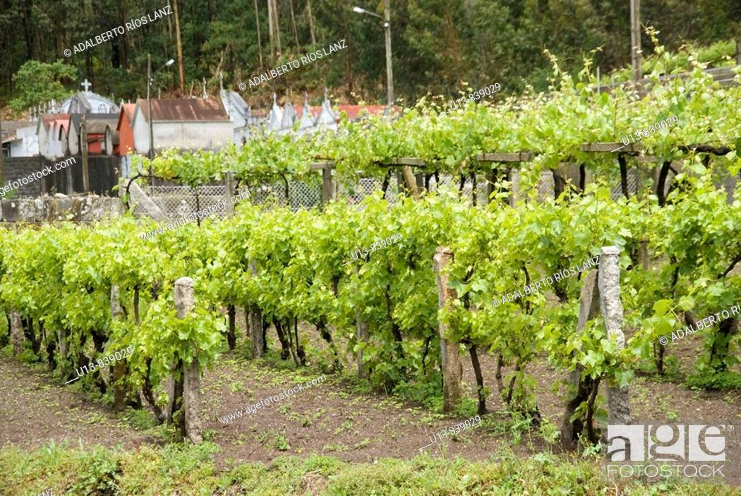 Stock Photo: Albariño Grape Vineyard.