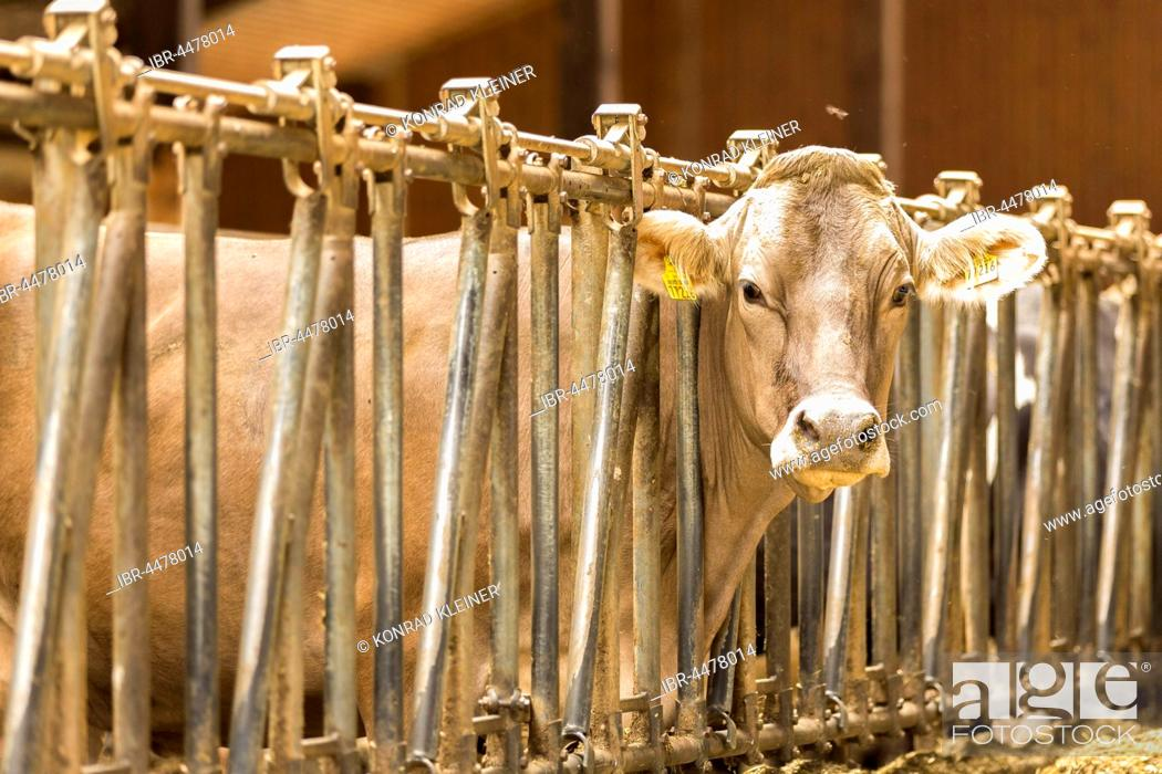 Stock Photo: Cow in barn, Unterallgäu District, Bavaria, Germany.