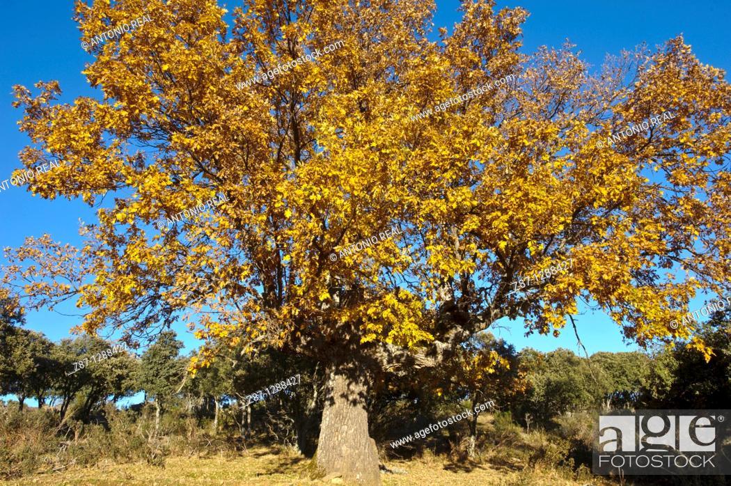 Stock Photo: Oaks (Quercus pyrenaica), El Cardoso de la Sierra, Macizo del Pico del Lobo, Parque Natural Sierra Norte de Guadalajara, Guadalajara, Spain.