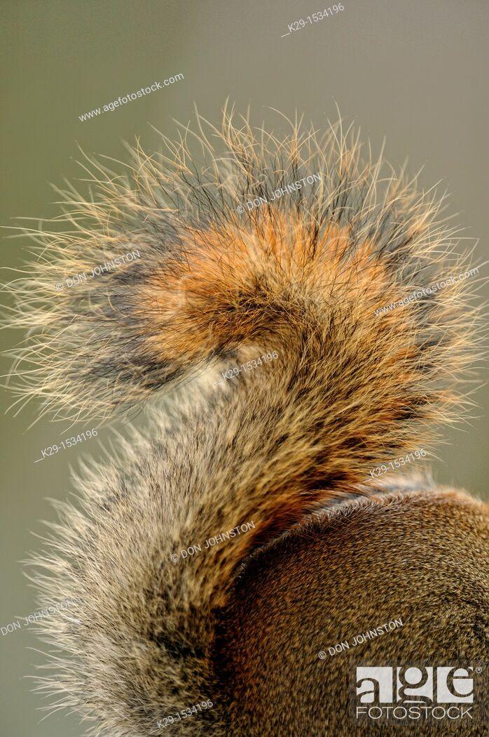 Stock Photo: Red Squirrel Tamiasciurus hudsonicus detail of squirrel tail.