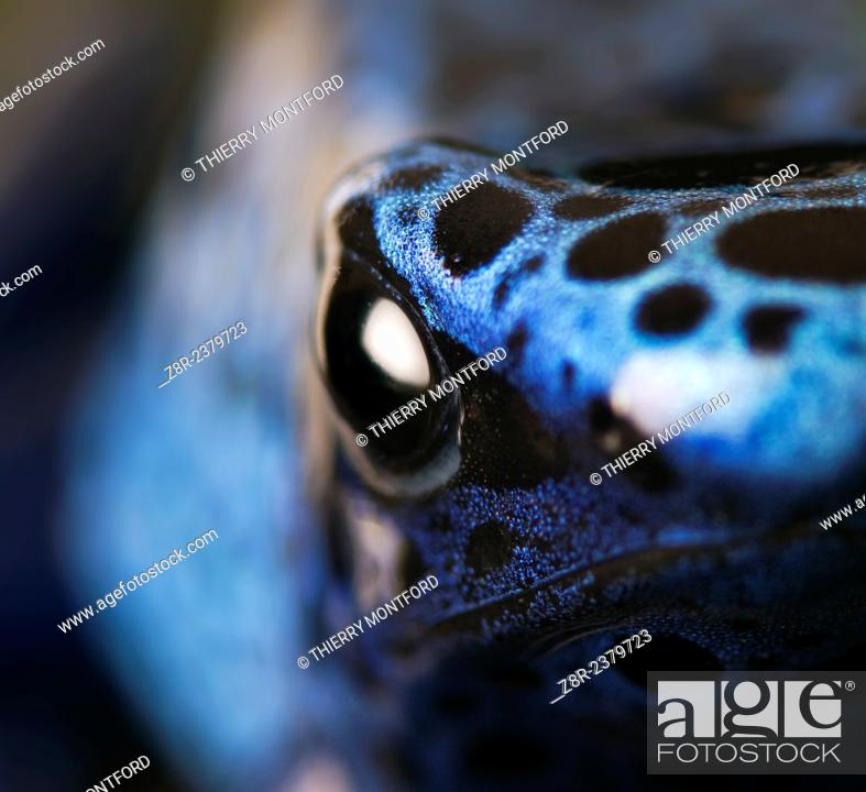 Stock Photo: Dendrobates tinctorius azureus. Blue poison dart frog close-up. Suriname.