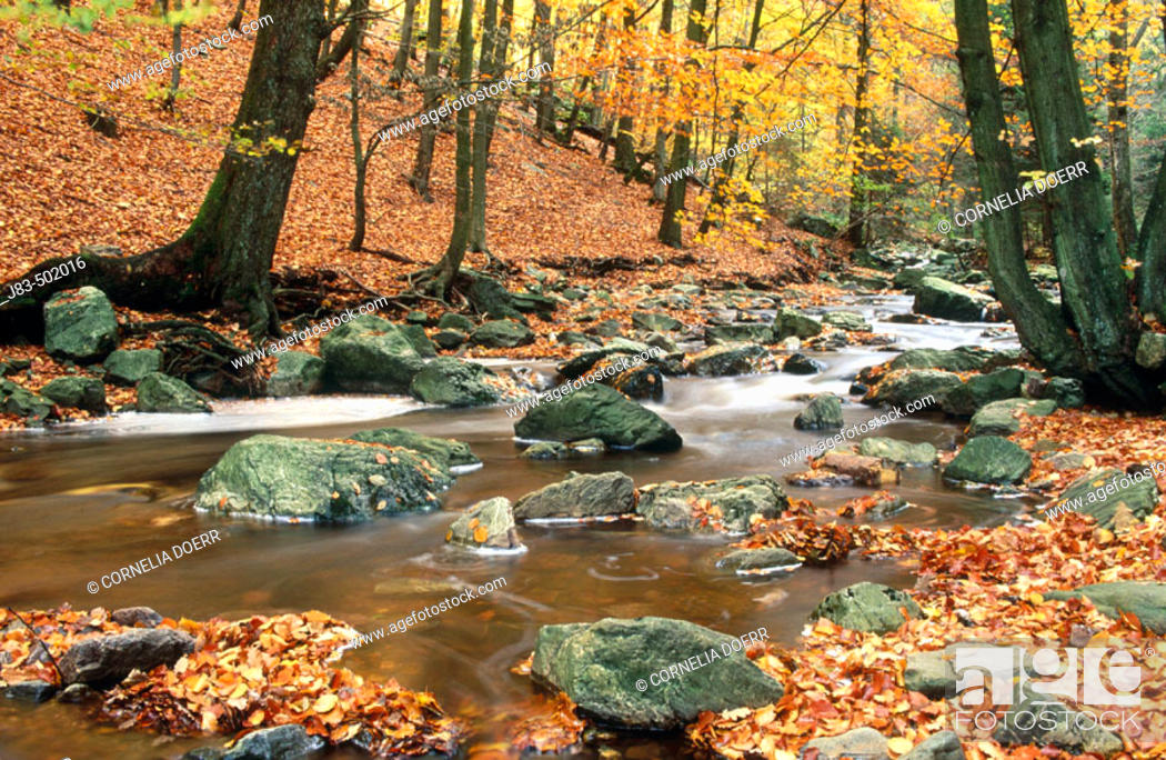 Stock Photo: Beech forest and brook, Wallonian fens. Ardennes, Belgium.