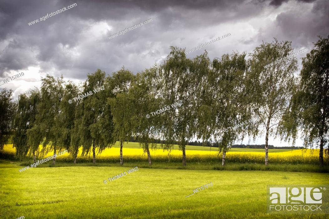 Stock Photo: Trees lining agricultural fields. Horb am Neckar, Baden Württemberg, Germany.