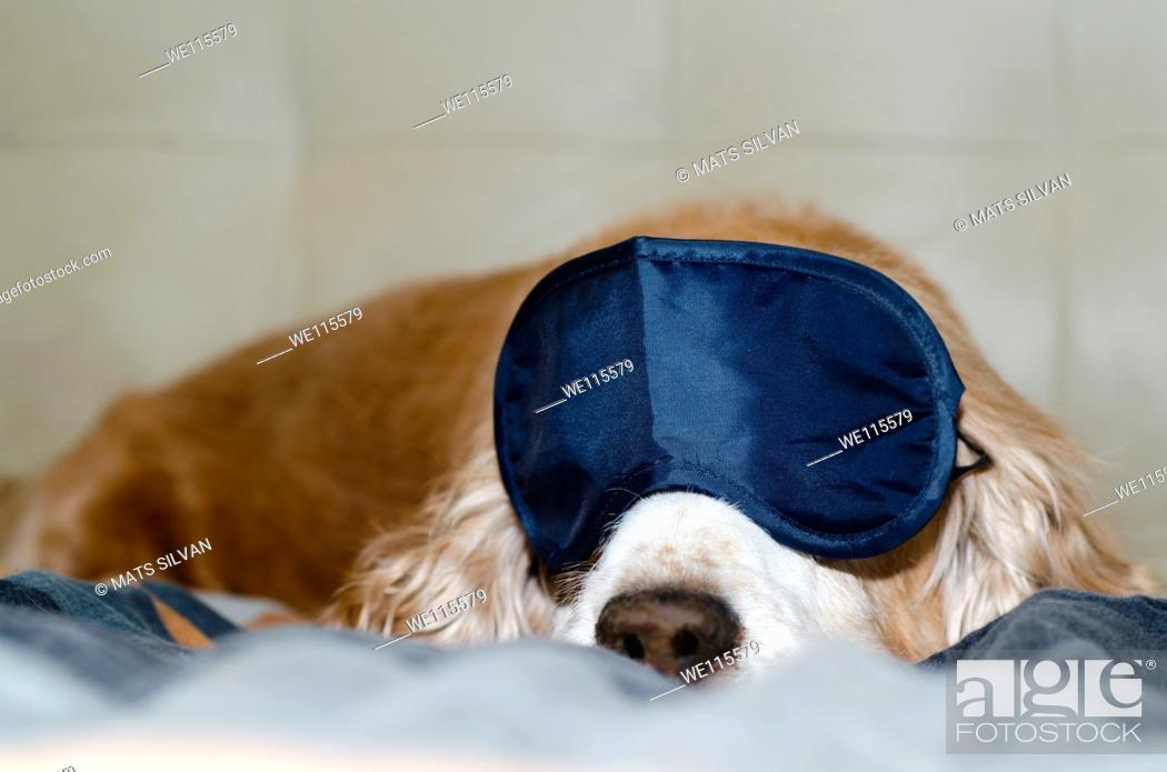 Stock Photo: Cocker spaniel dog sleeping with a sleep mask.