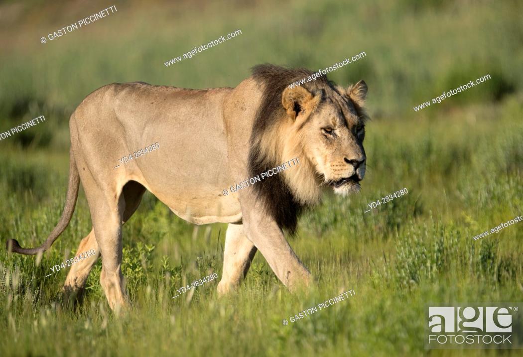 Stock Photo: African lion (Panthera leo) - Male, Kgalagadi Transfrontier Park, Kalahari desert, South Africa/Botswana.