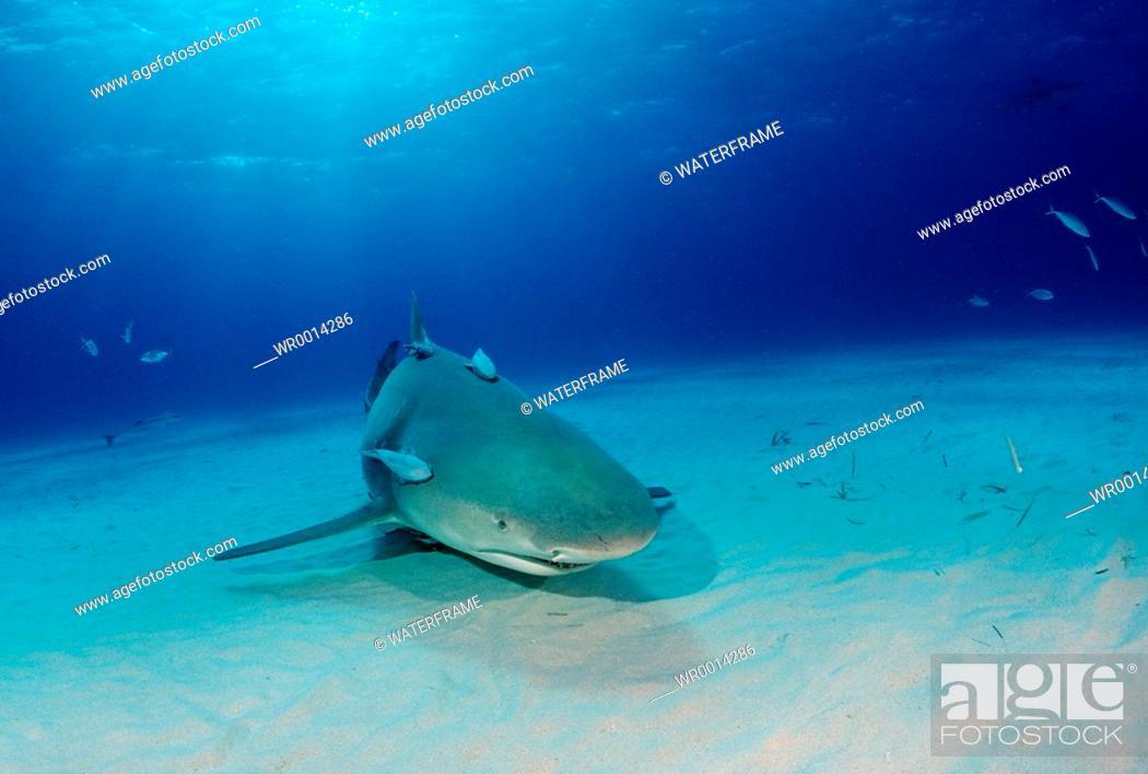 Stock Photo: Lemon Shark, Negaprion brevirostris, Atlantic, Caribbean Sea, Bahamas.