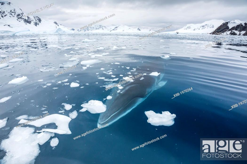 Imagen: A curious Antarctic Minke whale (Balaenoptera bonaerensis) in Paradise bay, Antarctica, Southern Ocean.