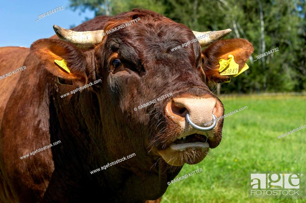 Brown And White Spotted Bull With Nose Ring In The Pasture Bull