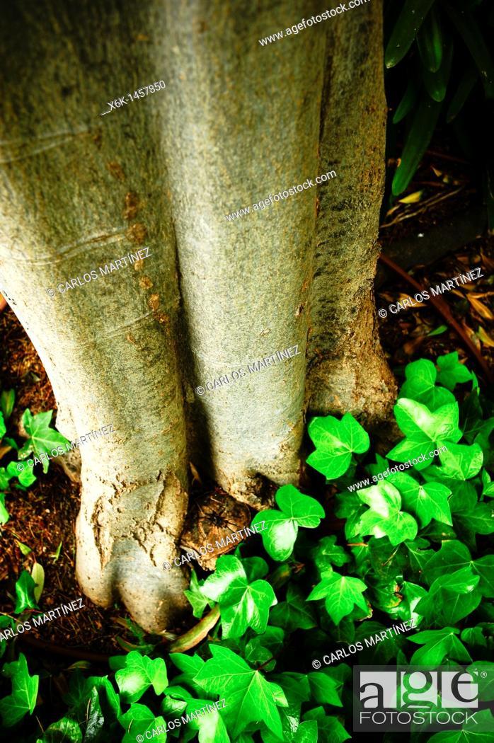 Stock Photo: Ivy (Hedera helix), Can Solei i Ca l'Arnús park, Badalona, Barcelona province, Catalonia, Spain.